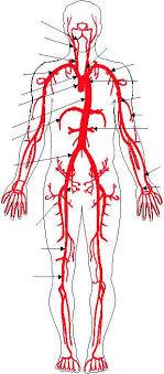 arteries leg
