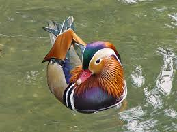 endangered ducks