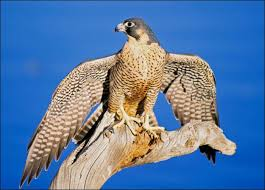 bird of prey falcon