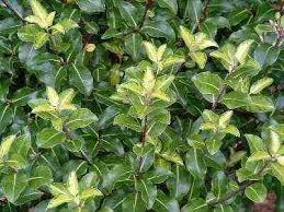 large shrubs