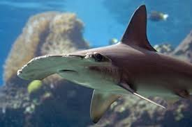 hammerhead sharks habitat