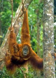 indonesian orangutan