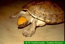 central american river turtle