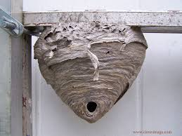pictures of hornets nests
