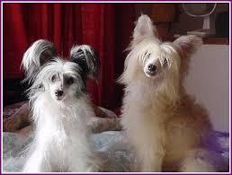 powder puff dog