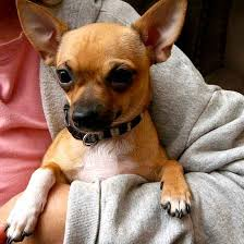 chihuahua dogs pictures