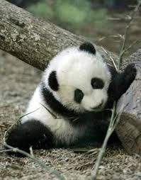 endangered giant pandas