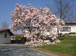 magnolia tree picture