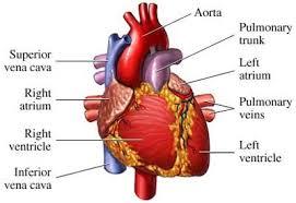 heart cavity