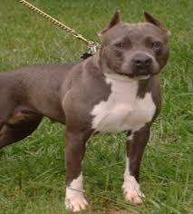 blue pits dogs