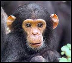 picture of chimpanzees