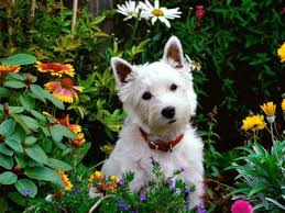 highland west terrier
