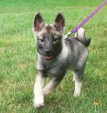 norwegian elkhound pups