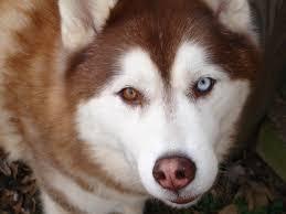 brown husky puppies