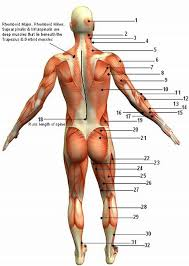 human muscular systems