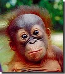 orangutans photos