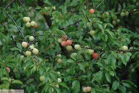 cherry plum trees