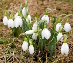 flower snowdrops