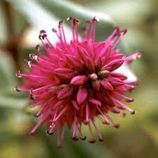 native new zealand flowers