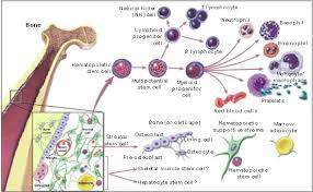 bone marrow stromal cell