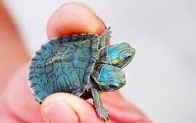 aquatic tortoise