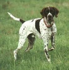 pointer dog breeders