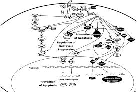 pi3k akt pathway