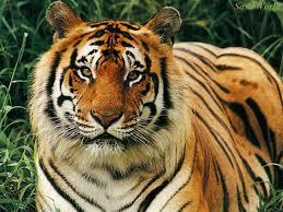 free tiger wallpaper
