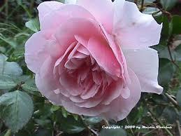bonica rose
