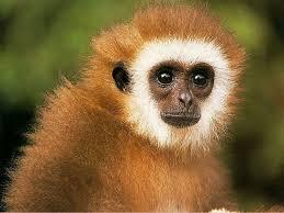 monkey desktop backgrounds