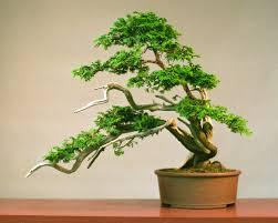 hinoki bonsai