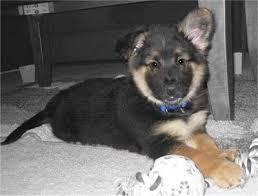 husky german shepherd mix puppies for sale