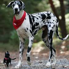 great dane size