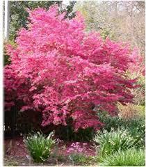 flowering evergreen shrubs