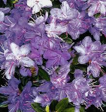 rhododendron purple