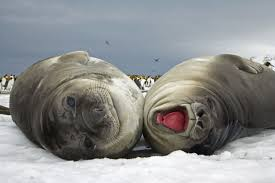 elephants seals