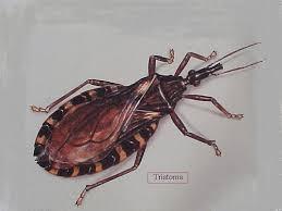 chagas beetle