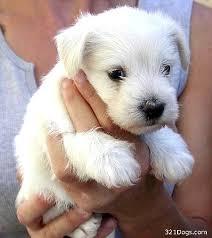 hypoallergenic puppy
