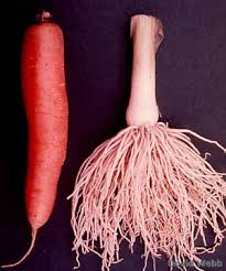 picture of a root