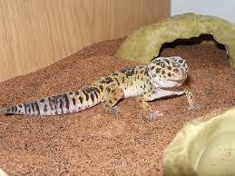 leopard gecko pet