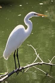 great egret photos