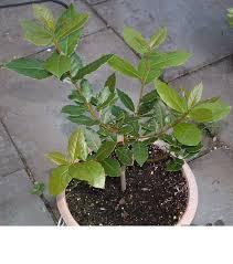 laurels plants