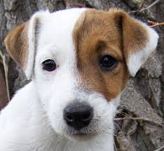 jack russell puppies pictures