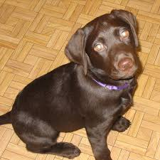 brown labradors puppies