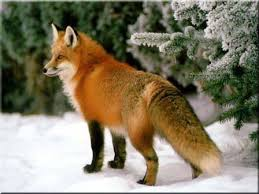 pictures foxes