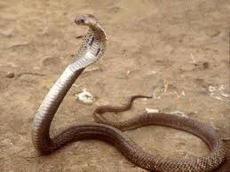 king cobra pics
