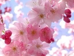 گل درخت سیب - نشانه بهار
