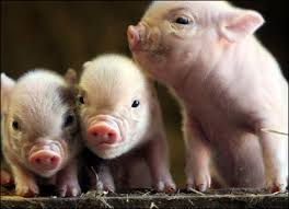 pictures pigs
