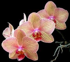 phal orchid