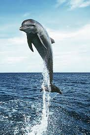 free dolphin wallpapers